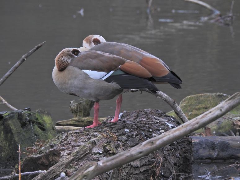 Egyptian Geese.jpg
