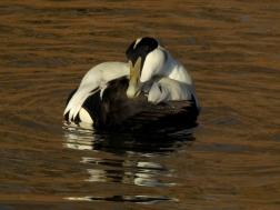 Eider Duck 2
