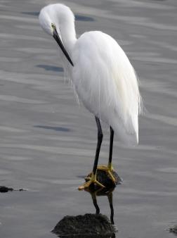 Little Egret 2