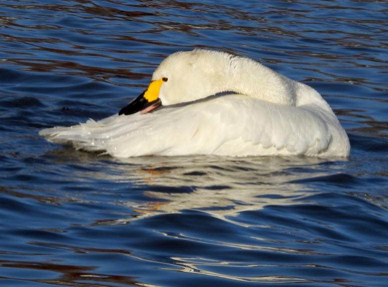 Whooper Swan 2.jpg