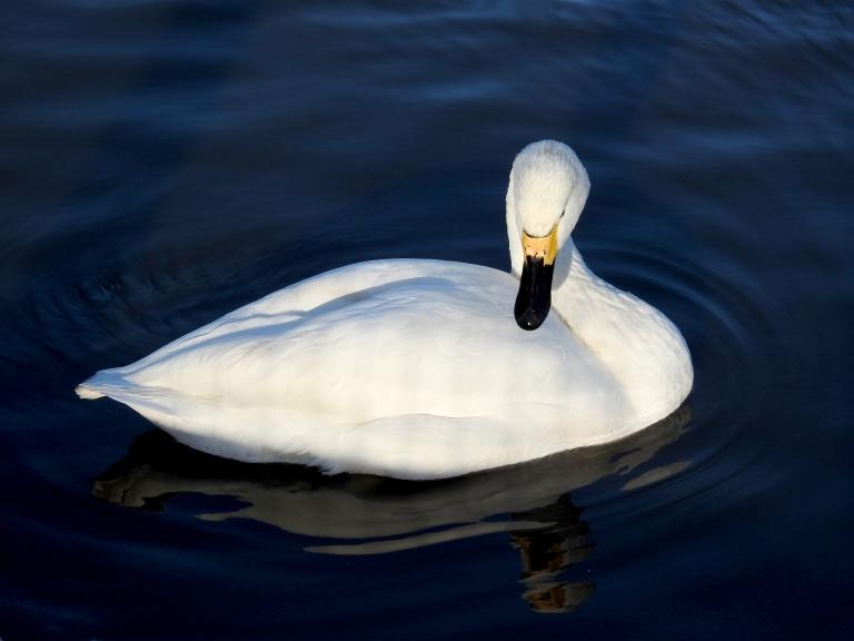 Whooper Swan 3.jpg