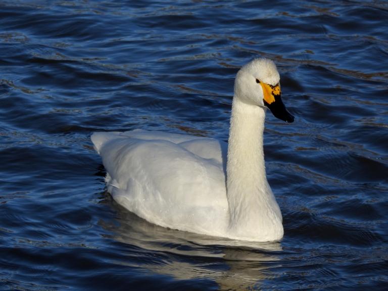 Whooper Swan 4