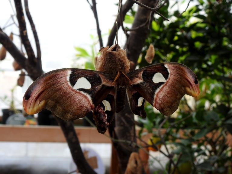 Atlas Moth.jpg